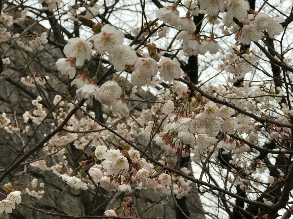 香川県 丸亀城 二の丸 沢山の桜