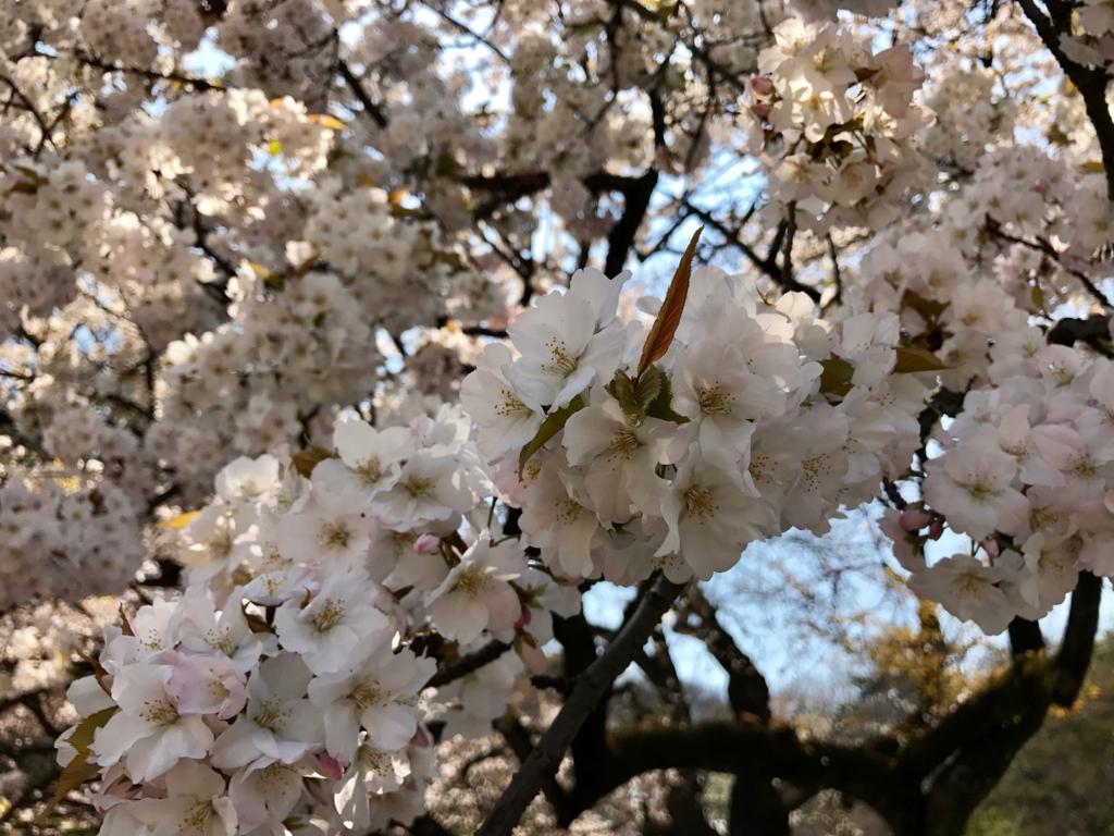 東京都新宿区 新宿御苑 満開の桜の花