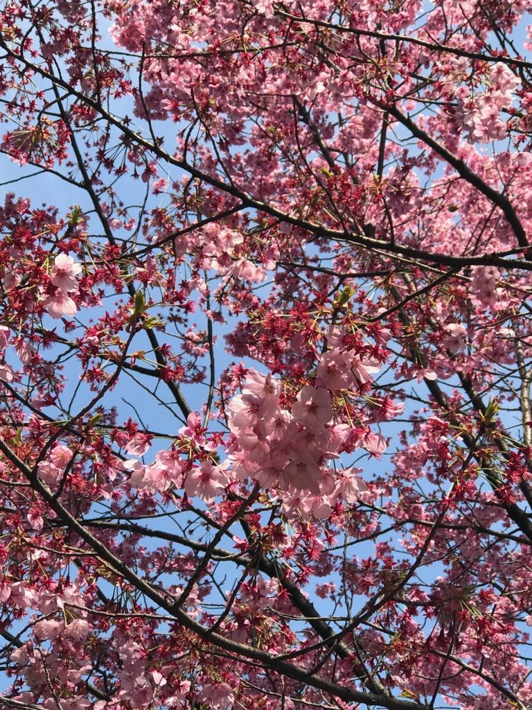 東京都新宿区 新宿御苑 散り始めている桜の花