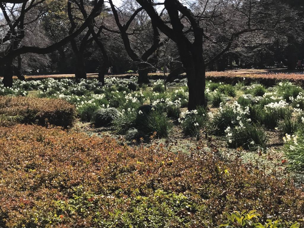 東京都新宿区 新宿御苑 たくさん花をつけていた頃の水仙(2月撮影)