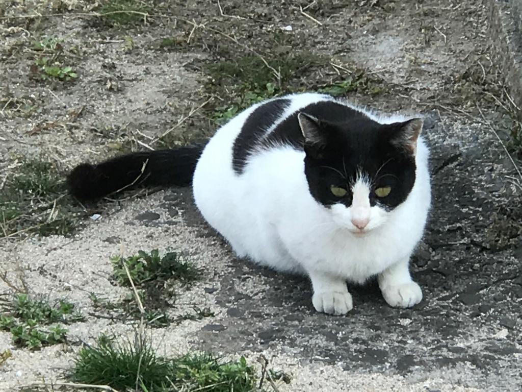香川県 佐栁島(ねこ島)本浦集落 健康そうな白黒猫さん