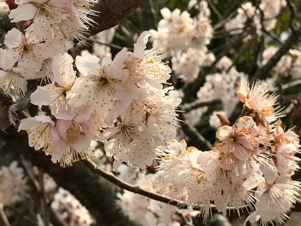 香川県 佐柳島(ねこ島)「大天神社」お参り道 桜