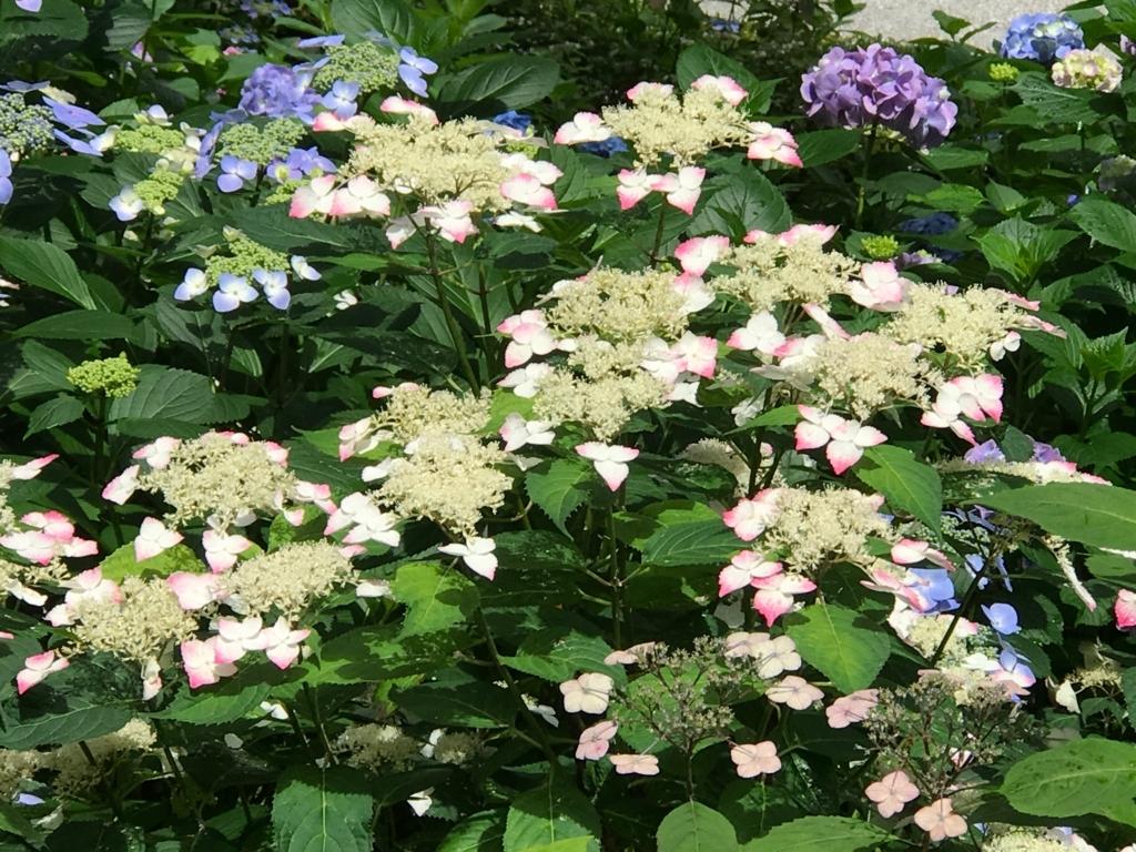 広島県 三景園 紫陽花