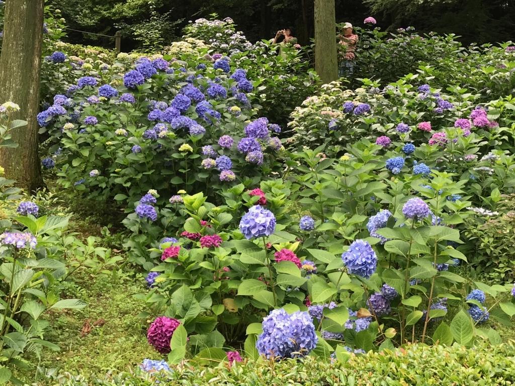 広島県 三景園 満開の あじさい園