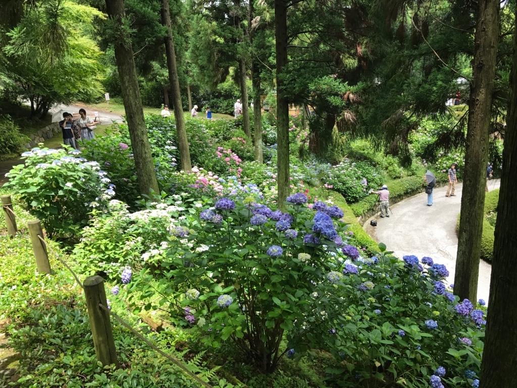広島県 三景園 満開の あじさい園 沢山の観光客
