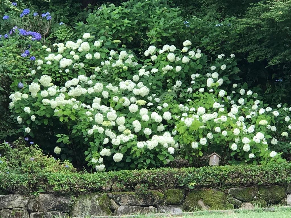 広島県 三景園 満開の あじさい園 白い大きな花の紫陽花