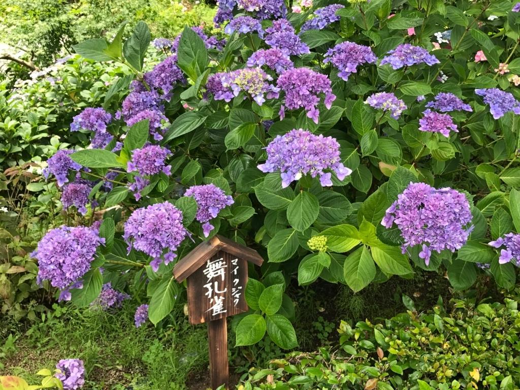 広島県 三景園 満開の あじさい園 「舞孔雀」