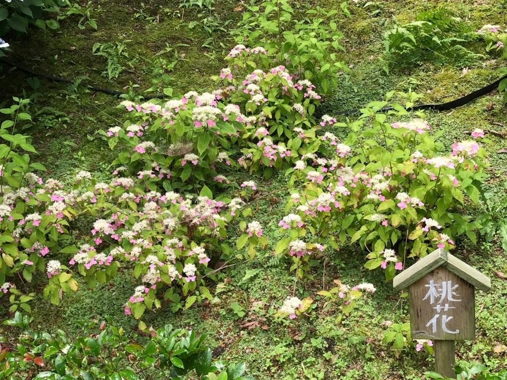 広島県 三景園 満開の あじさい園 「桃花」