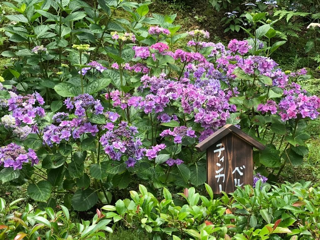 広島県 三景園 満開の あじさい園 「テインカーベル」