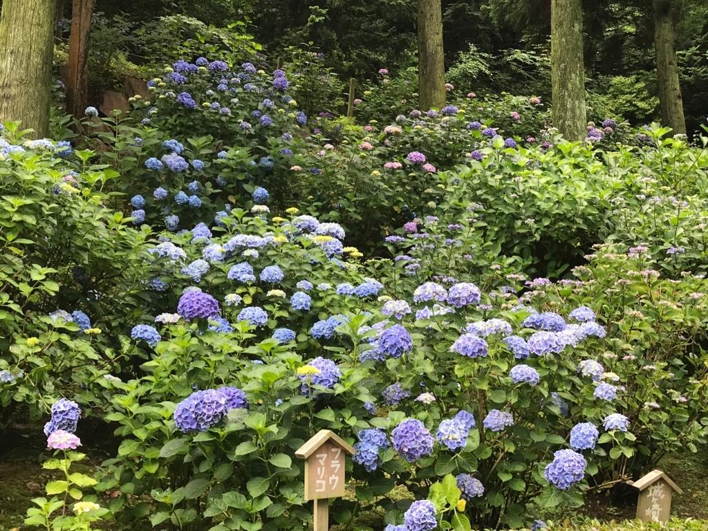 広島県 三景園 満開の あじさい園 「フラウマリコ」
