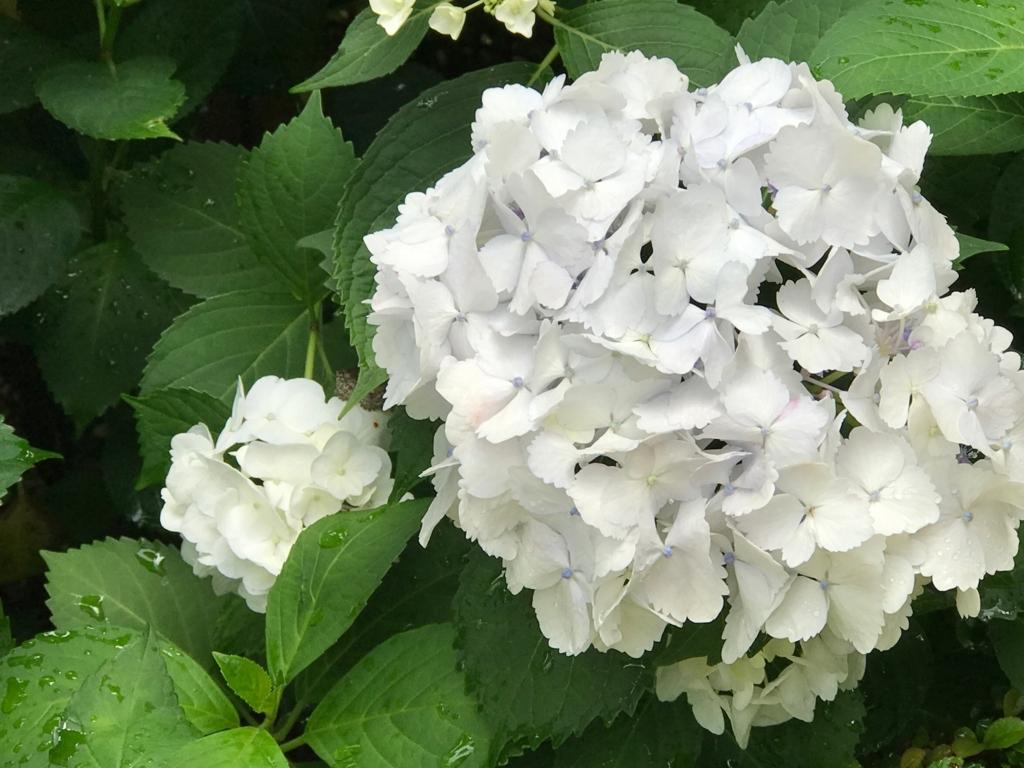 広島県 三景園 満開の あじさい園 白い紫陽花