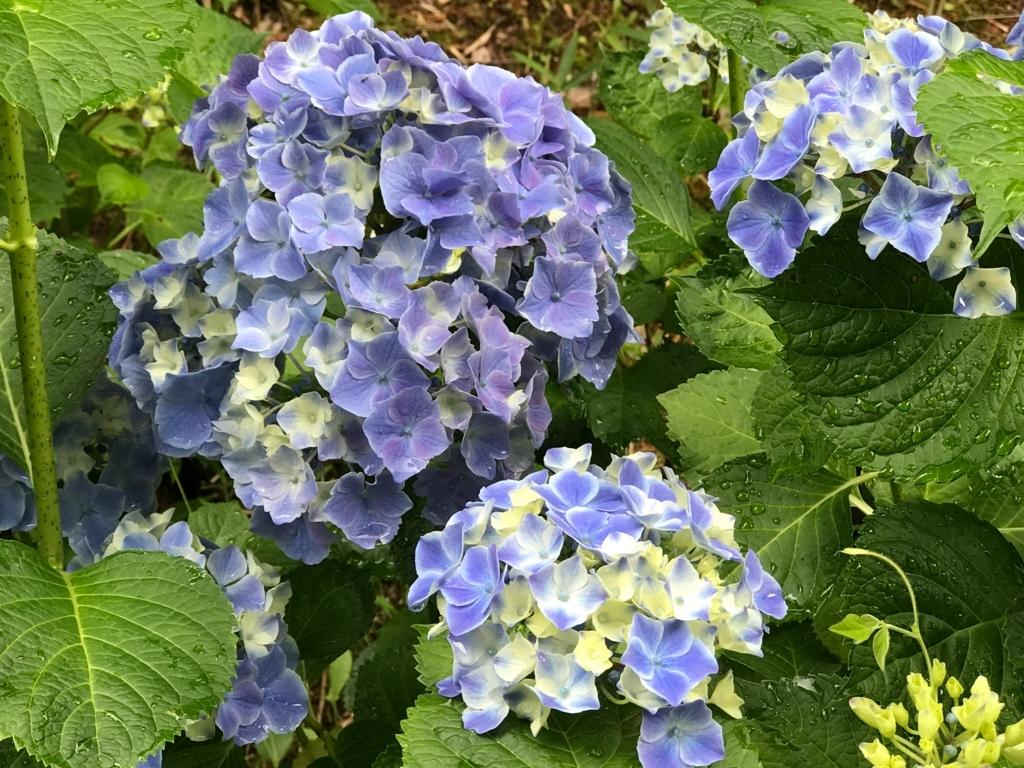 広島県 三景園 満開の あじさい園 クリームと青い紫陽花
