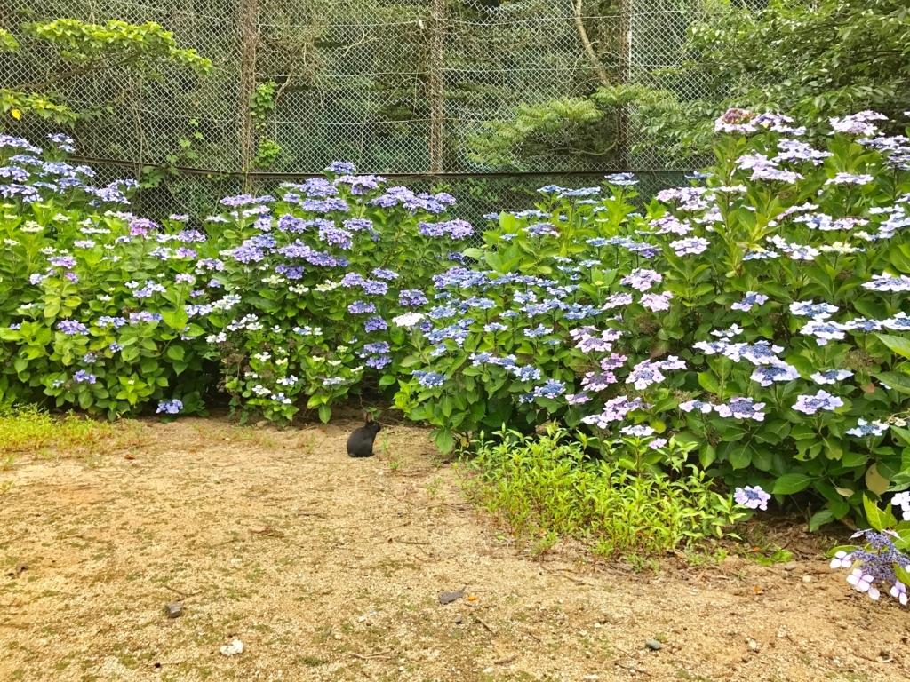 2017年6月 うさぎ島(大久野島)紫陽花満開