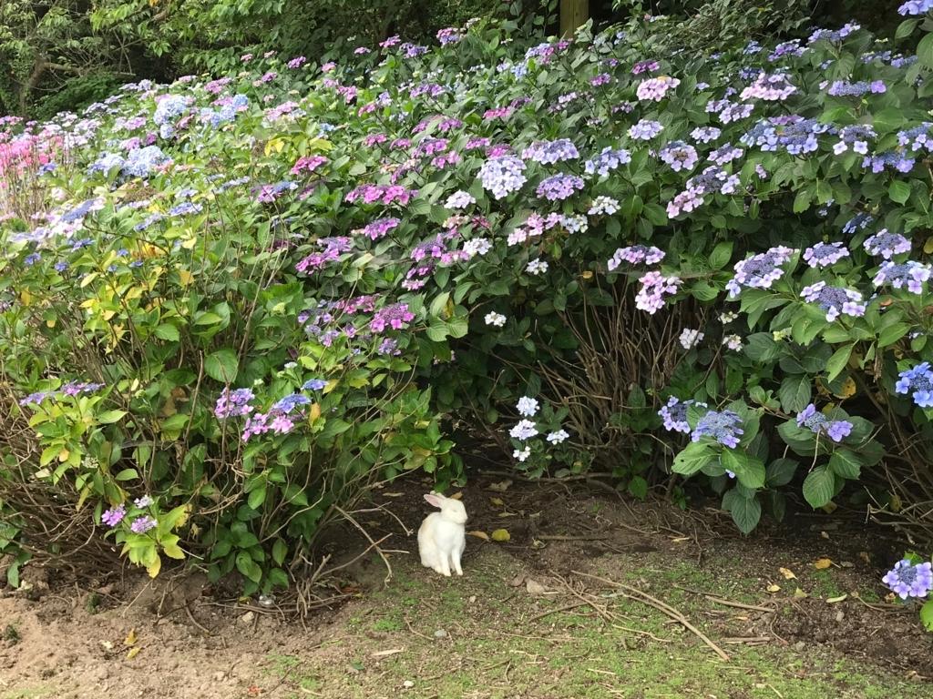 2017年6月 うさぎ島(大久野島)紫陽花の頃 グラウンド 瞑想にふける白うさぎ