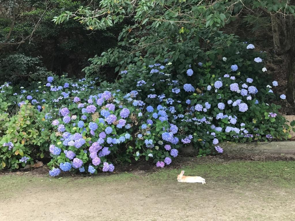 2017年6月 うさぎ島(大久野島)紫陽花の頃 グラウンド ダラっと休んでいるうさぎさん