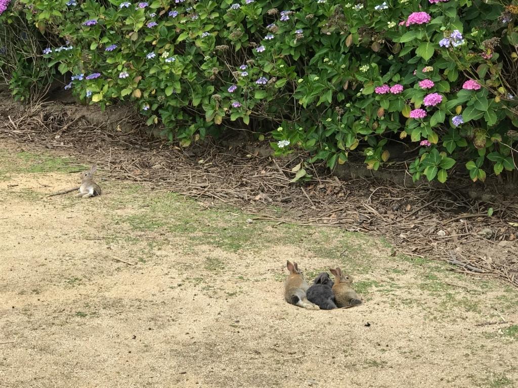 2017年6月 うさぎ島(大久野島)紫陽花の頃 グラウンド 穴を掘って休むうさぎさん達