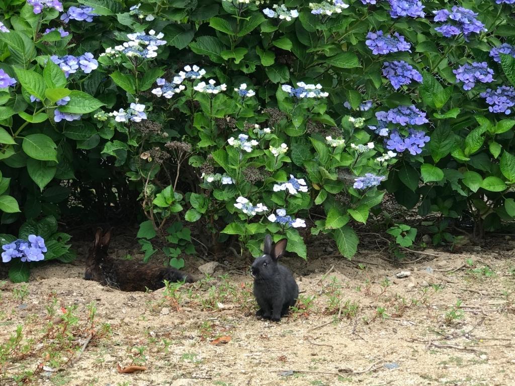 2017年6月 うさぎ島(大久野島)紫陽花の頃 グラウンド 警戒する小さなうさぎさん