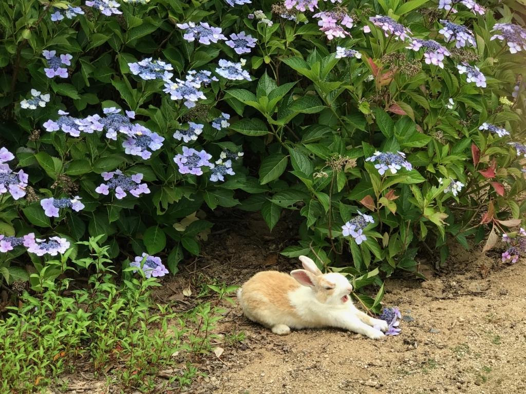 2017年6月 うさぎ島(大久野島)紫陽花の頃 グラウンド 大あくびする うさぎさん