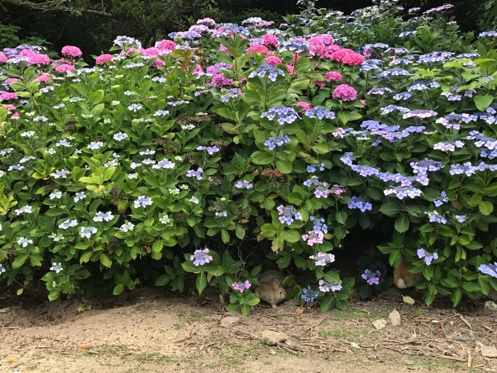 2017年6月 うさぎ島(大久野島)紫陽花の頃 グラウンド 本格雨降りの中