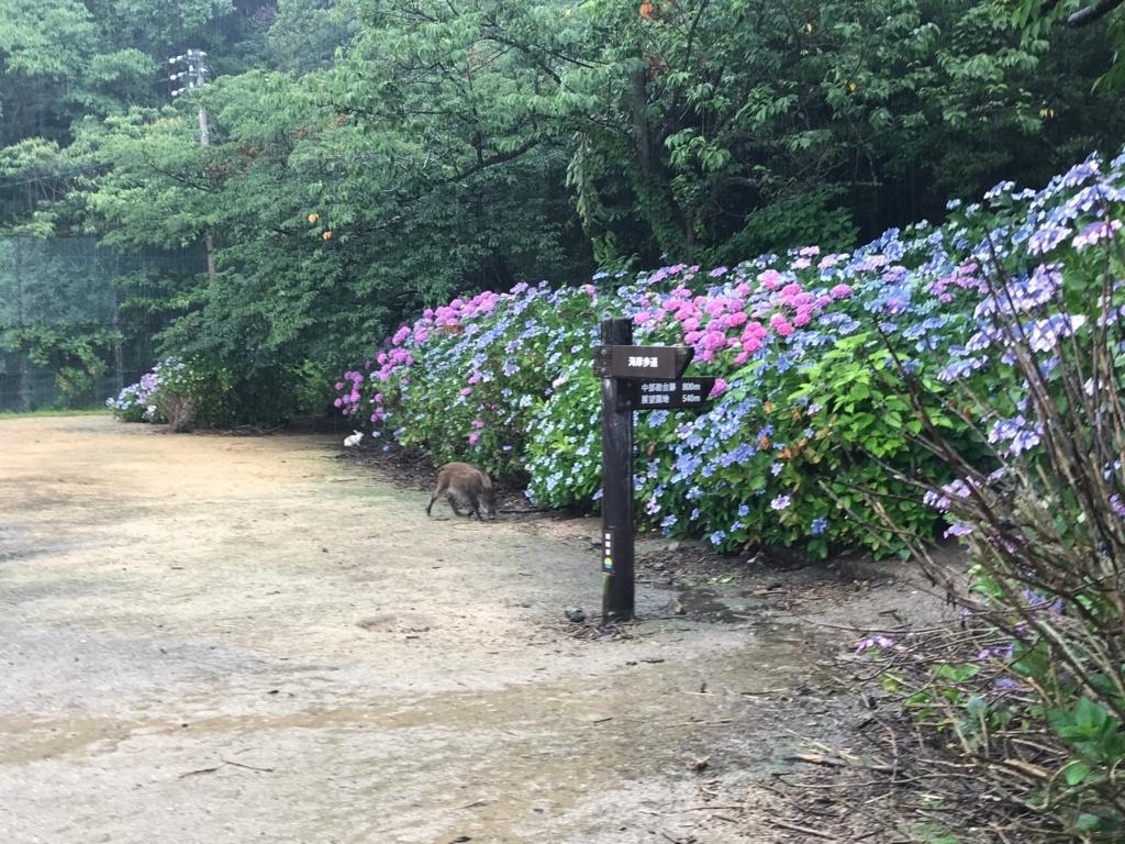 2017年6月、広島県 うさぎ島(大久野島)イノシシ出現