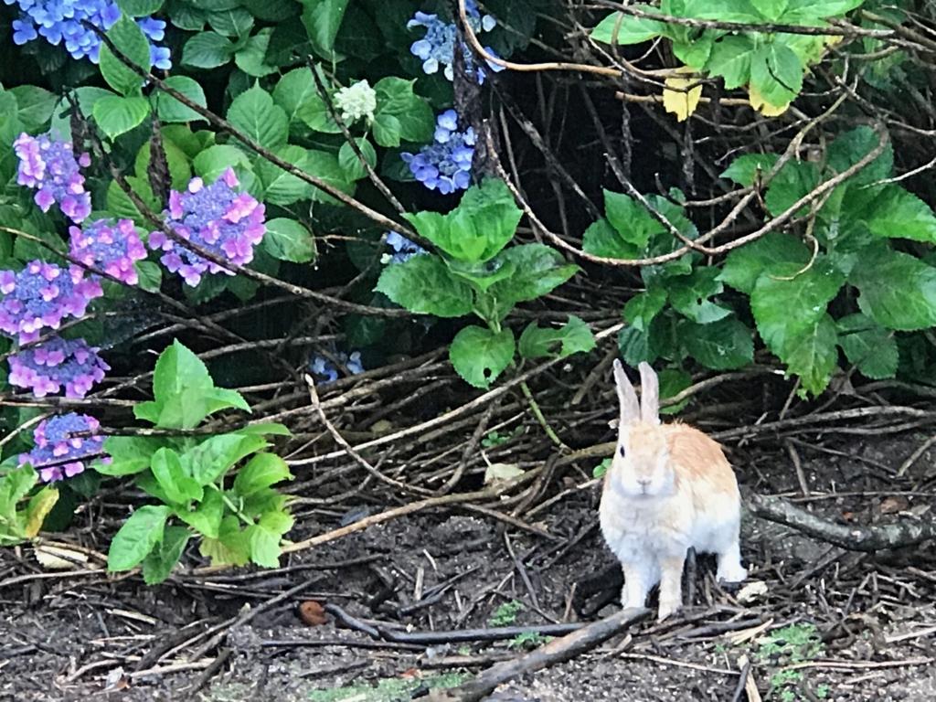 2017年6月、広島県 うさぎ島(大久野島)イノシシ出現 こちらを見ているうさぎさん