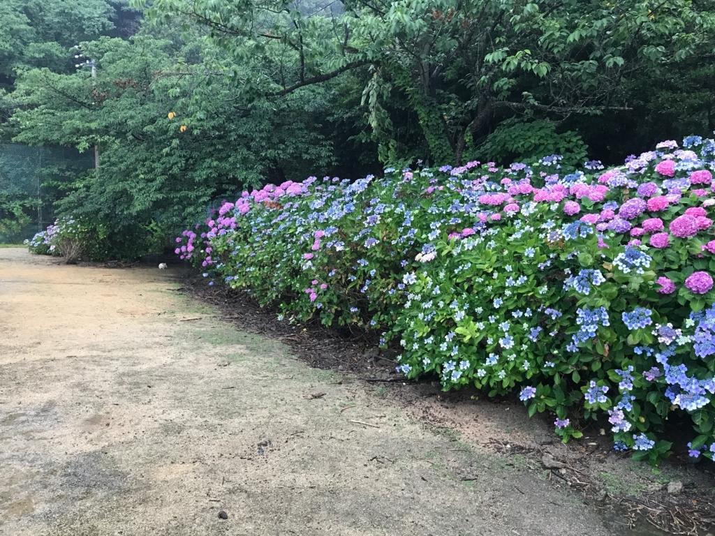 2017年6月、広島県 うさぎ島(大久野島)イノシシ出現 のグラウンド 紫陽花の中