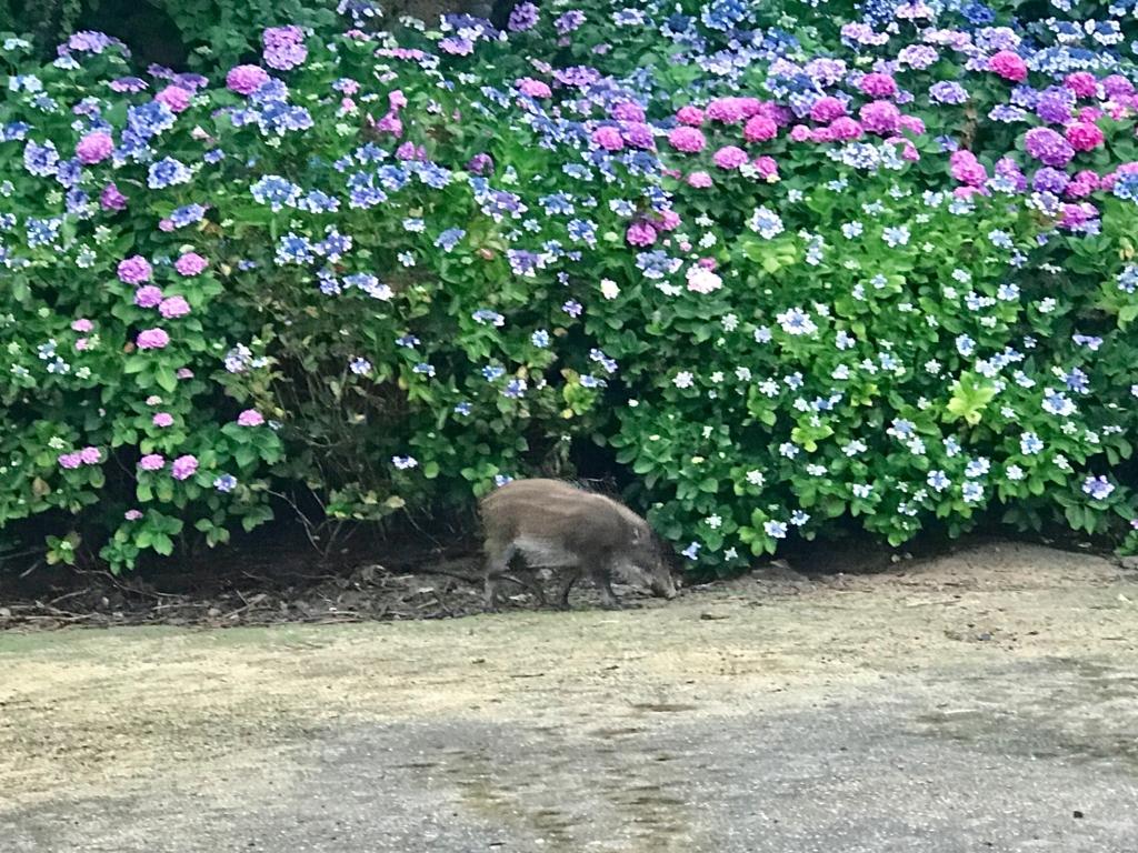 2017年6月、広島県 うさぎ島(大久野島)グラウンドに 出現したイノシシ もっと近くに