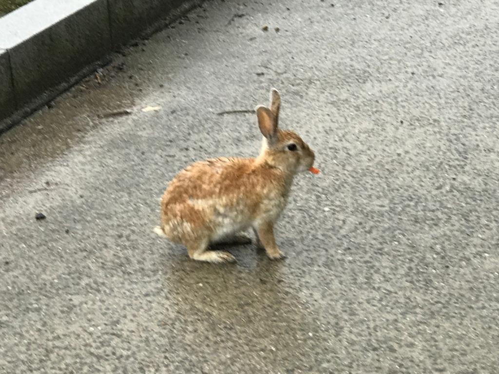 2017年6月、広島県 うさぎ島(大久野島)大雨の中 固まっている うさぎさん でも人参はたべて食べている