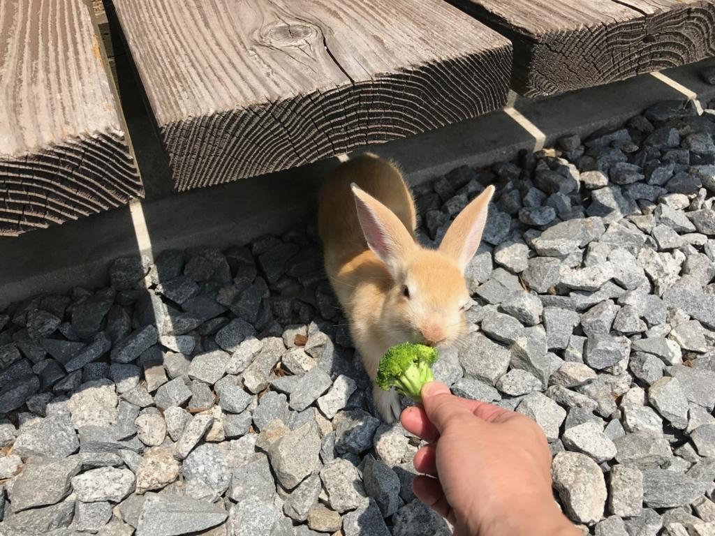 2017年6月 広島県 うさぎ島(大久野島) ビジタセンター 軒下 の うさぎさん