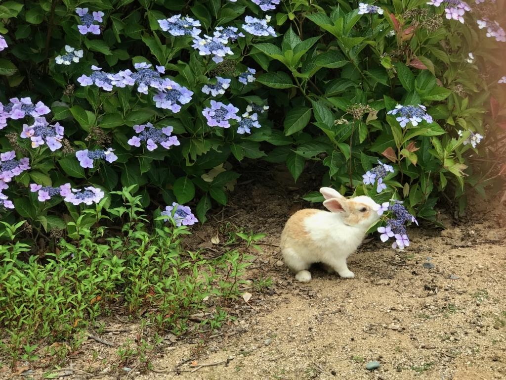 2017年6月 うさぎ島(大久野島)紫陽花の頃 グラウンド クンクンする うさぎさん