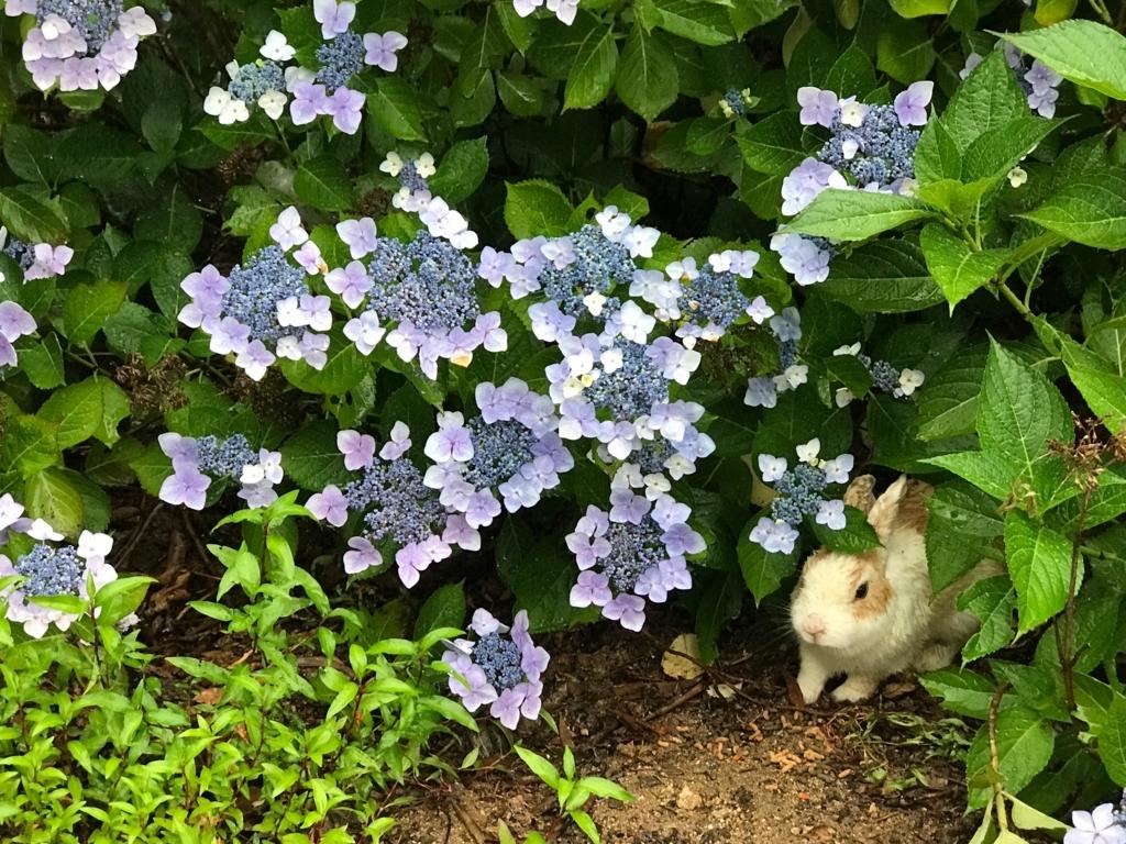 2017年6月 紫陽花の頃 うさぎ島(大久野島)