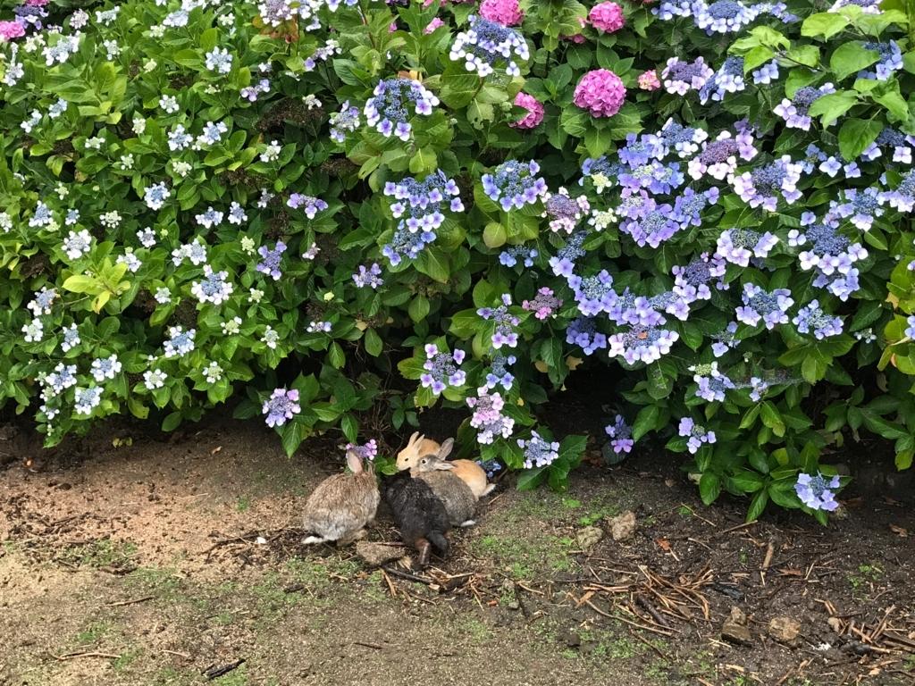 2017年6月 うさぎ島(大久野島)紫陽花の頃 グラウンド 本格雨降りの中 うさぎさん達
