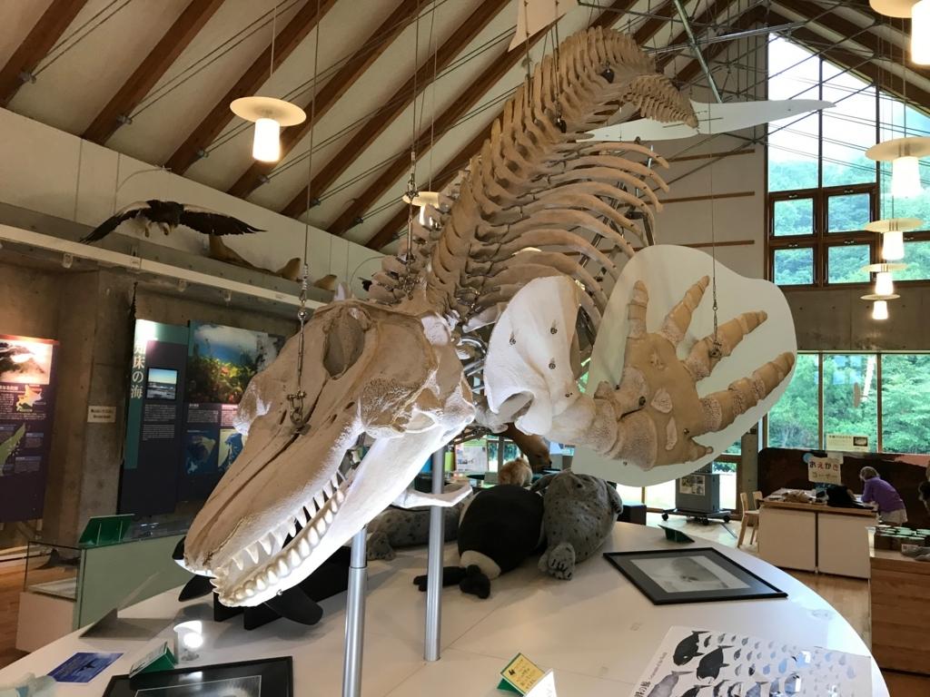 北海道 羅臼ビジターセンター 展示品 シャチの骨格標本