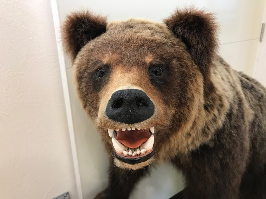 北海道 羅臼ビジターセンター 展示品 グマの剝製 牙が鋭い