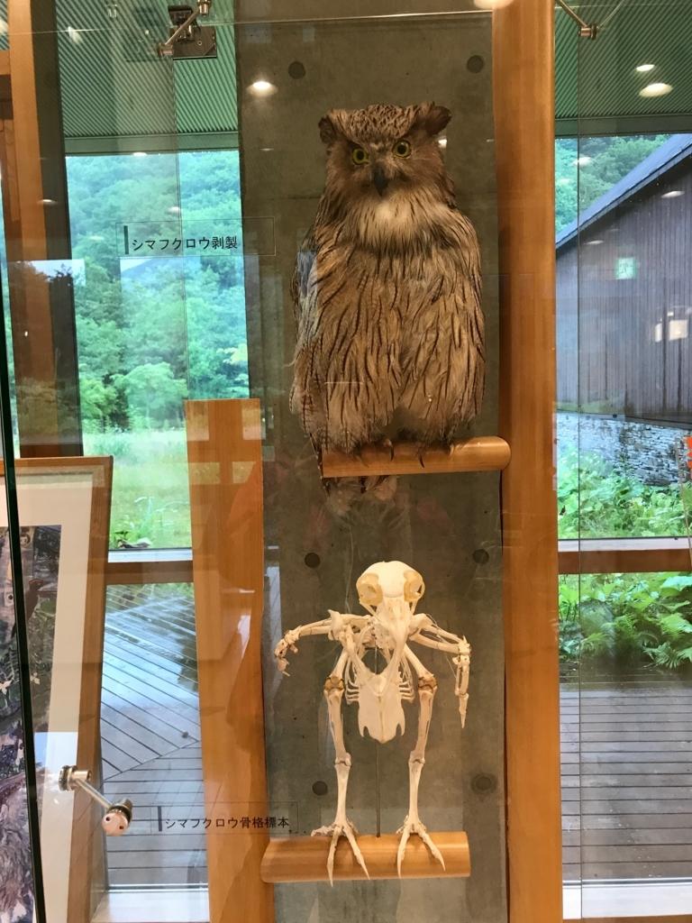 北海道 羅臼ビジターセンター 展示品 シマフクロウの骨格兵法