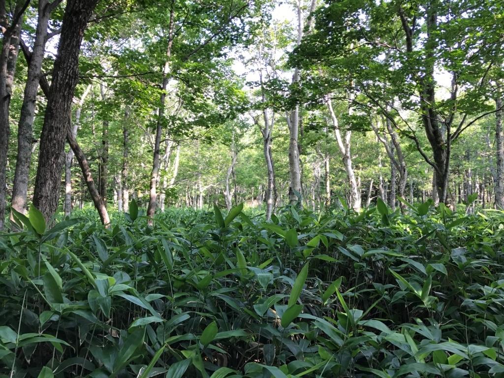 北海道 知床五湖 地上遊歩道 深い茂み
