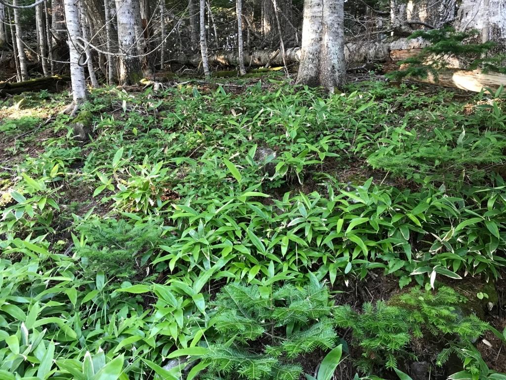北海道 知床五湖周辺の森 倒木で新たに光のあたったあ場所 若い木々が