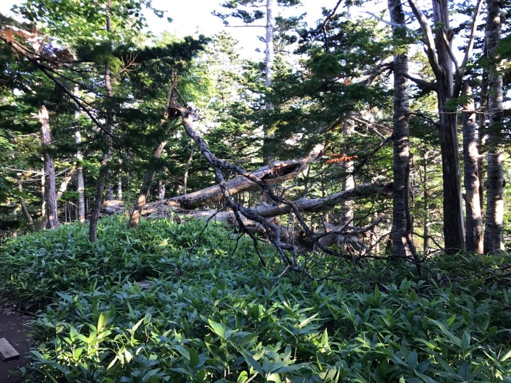 北海道 知床五湖周辺の森 最近、倒れた木