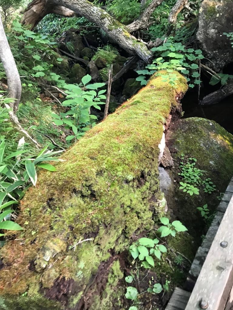 北海道 知床五湖周辺の森 朽ちていく木々