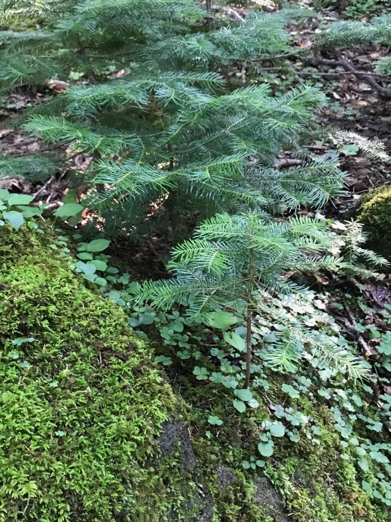 北海道 知床五湖周辺の森 岩の上でたくましく育つ若い木々