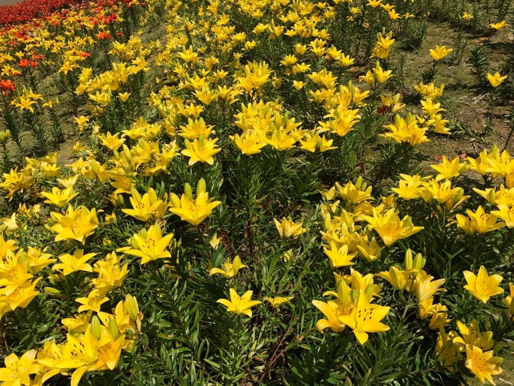 北海道 小清水町 「ゆりの郷こしみず LILY PARK」黄色の百合