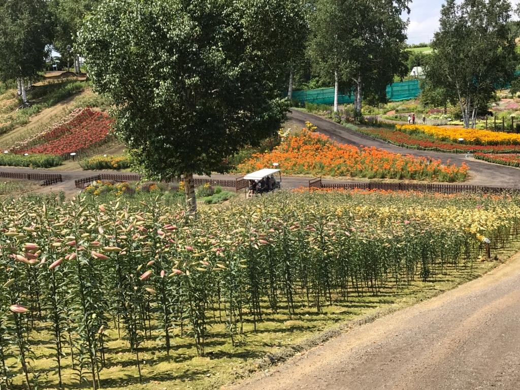 北海道 小清水町 「ゆりの郷こしみず LILY PARK」開花前の百合