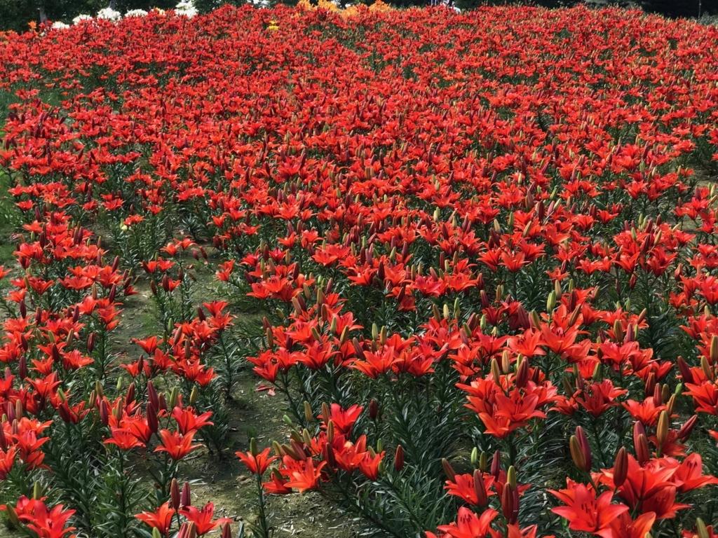北海道 小清水町 「ゆりの郷こしみず LILY PARK」赤い百合