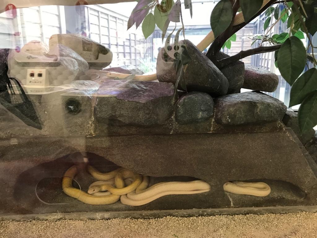 山口県 岩国 「吉香公園」岩国シロヘビの館 休憩中のシロヘビさん達
