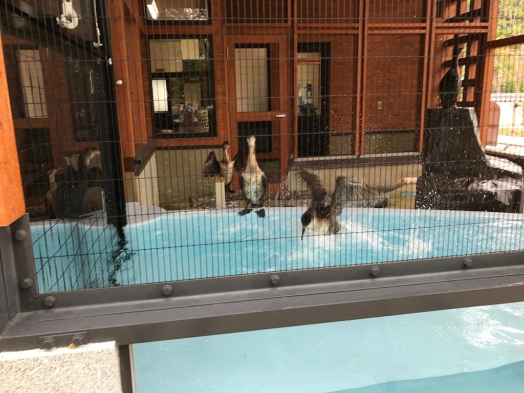 山口県 岩国 「吉香公園」吉香 鵜の里 休憩中の鵜 水浴び