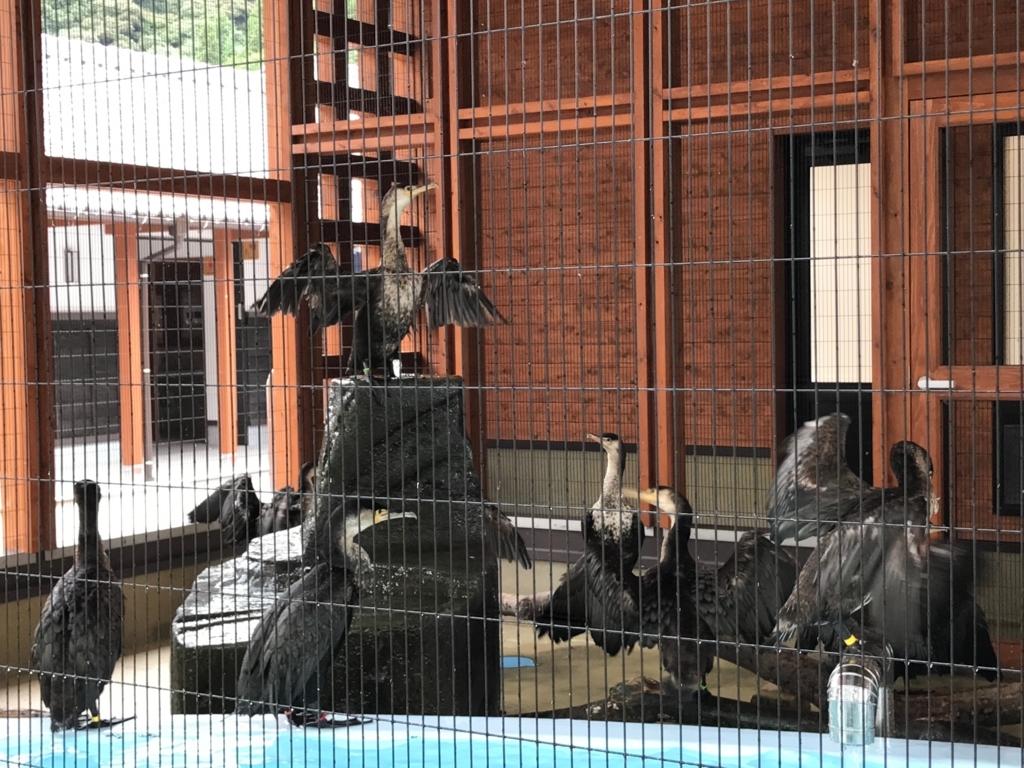 山口県 岩国 「吉香公園」吉香 鵜の里 休憩中の鵜