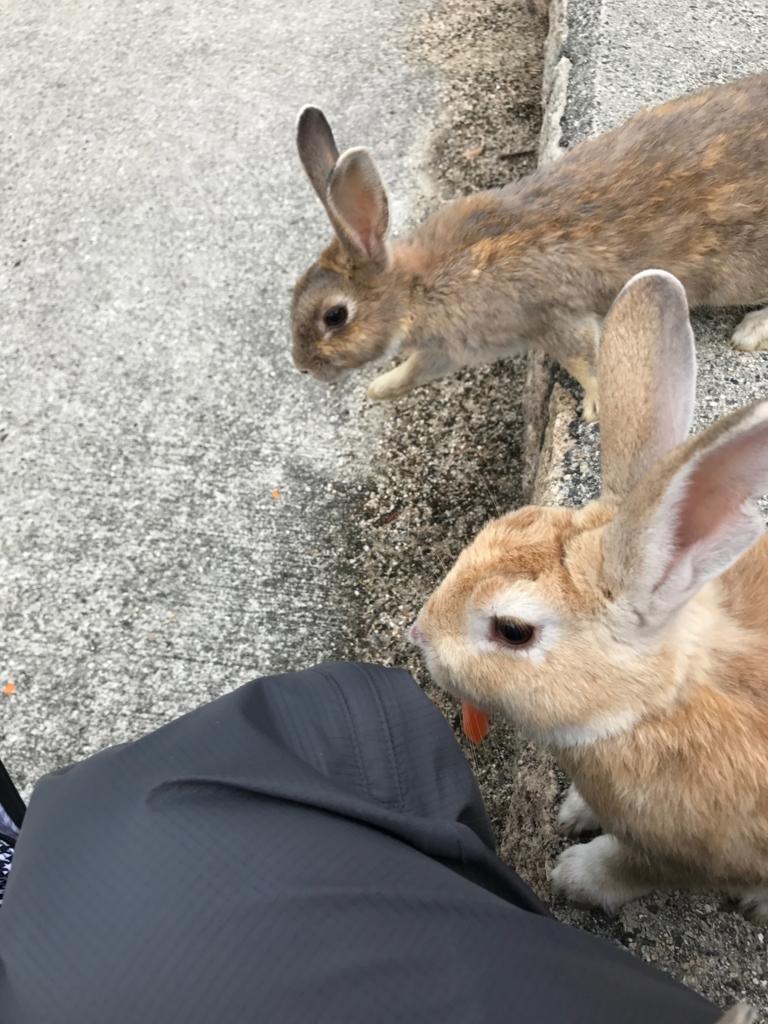 広島県 うさぎ島(大久野島)台風18号午後接近 ウサギの耳付近 のうさぎさん達