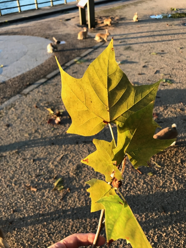 広島県 うさぎ島(大久島)台風18号が去った朝 うさぎさんが食べている葉っぱ