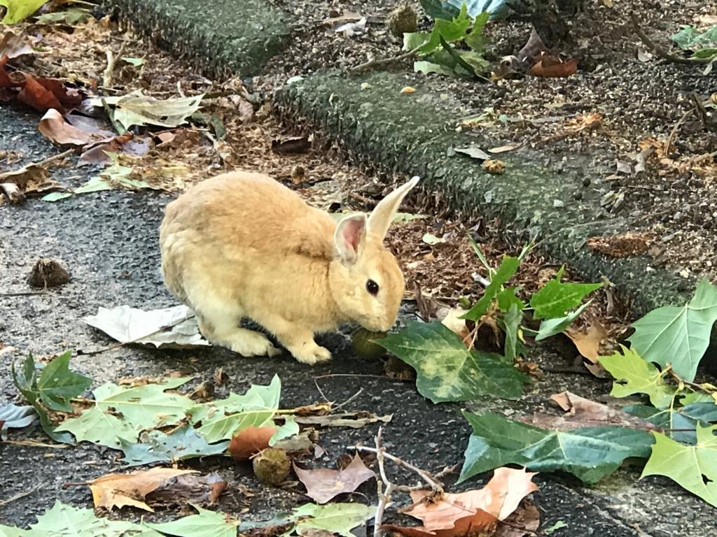 広島県 うさぎ島(大久島)台風18号が去った朝 葉っぱを食べるうさぎさん