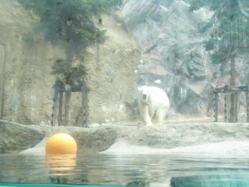 2010年5月 北海道 旭山動物園 ほっきょくぐま館 通常の観察窓から